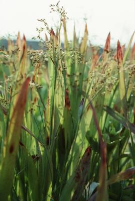 92842161 XS - How To Get Rid Of Corn Speedwell In Lawn
