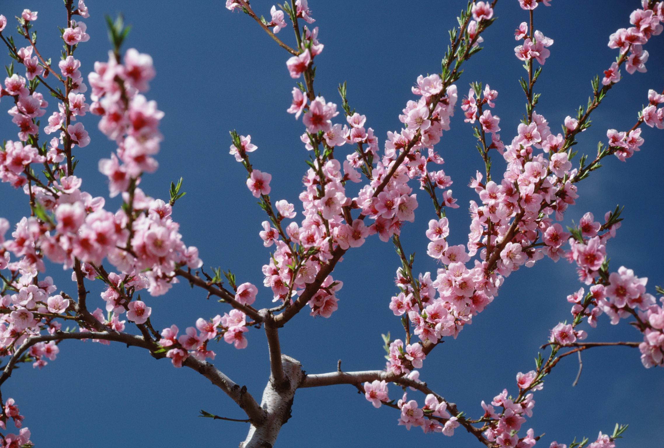 Cherry Trees That Do Not Bear Fruit