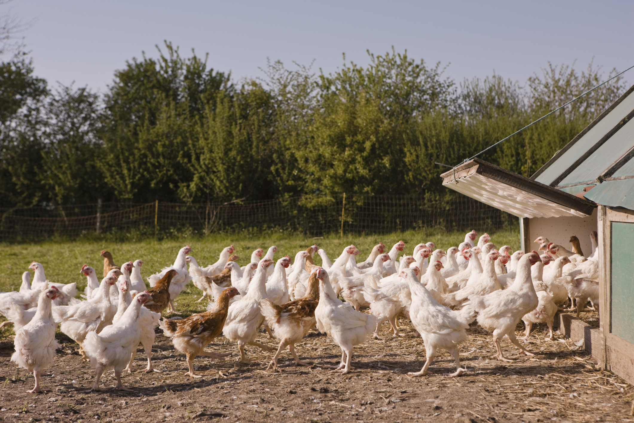 How Much Money Does the Average Chicken Farmer Make? | Bizfluent