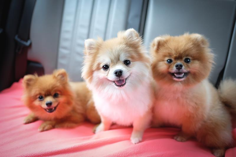 Grooming Styles For Pomeranians Pets