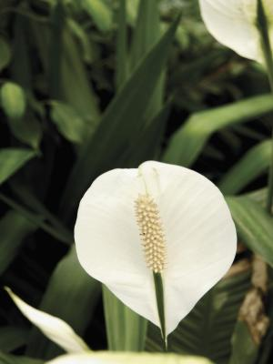 how to trim brown leaves from peace lily plants home guides sf gate. Black Bedroom Furniture Sets. Home Design Ideas