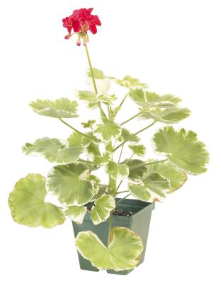 Red geranium growing tips home guides sf gate - Overwintering geraniums tips ...