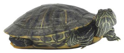 Como construir un habitat para tortugas semi-acuaticas eHow en ...