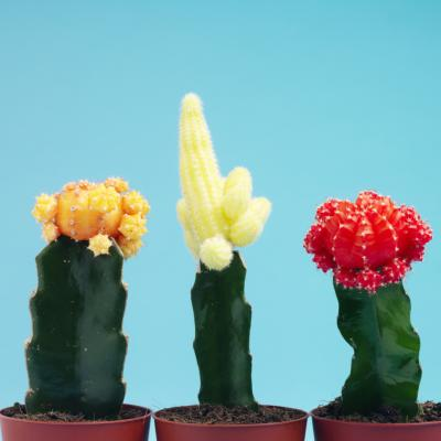 red top cactus care  home guides  sf gate, Natural flower