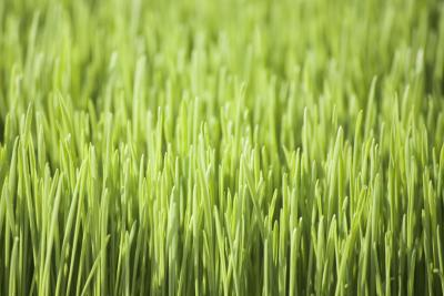 How To Grow Wheatgrass In Your Office Home Guides Sf Gate