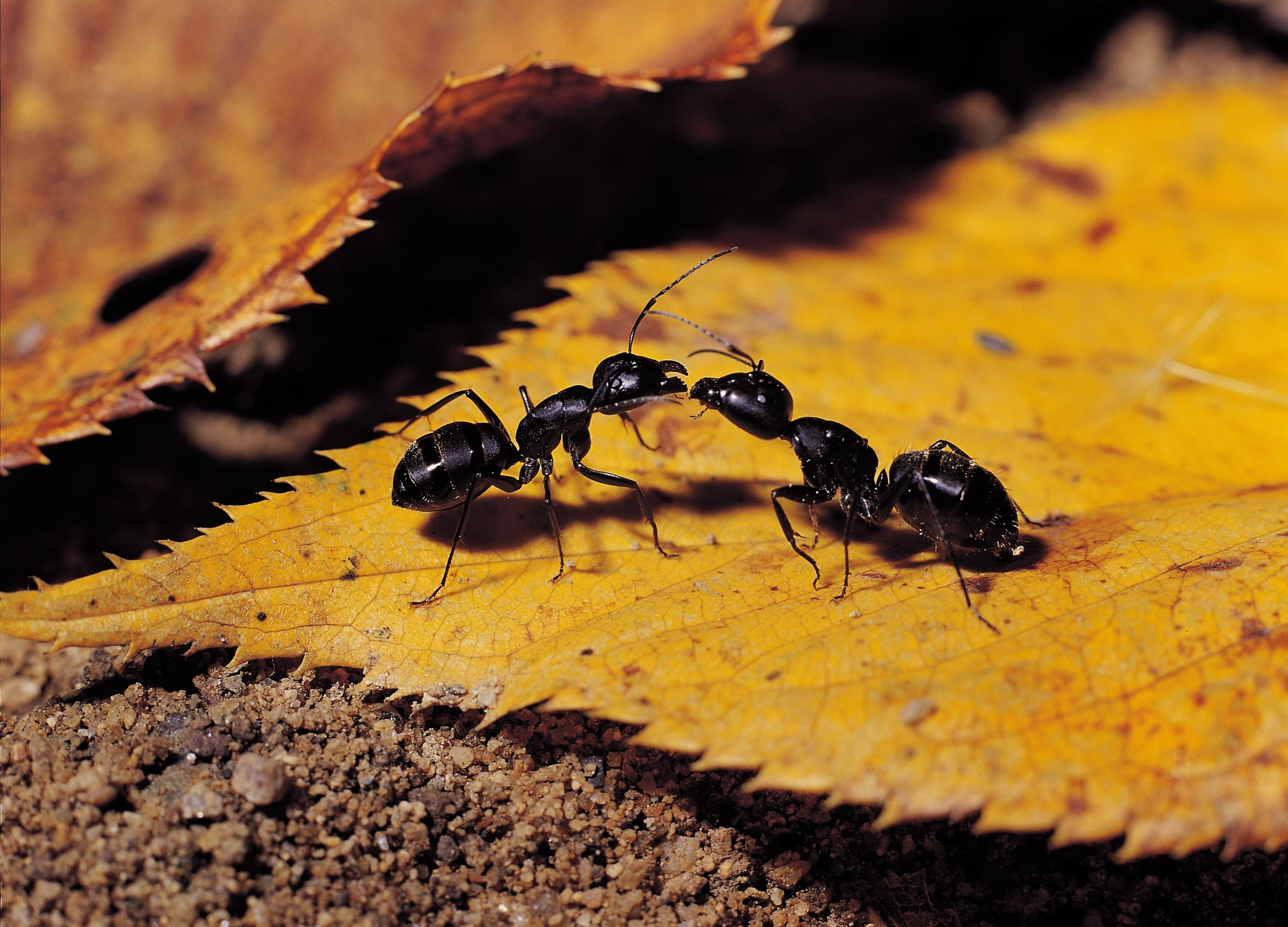 How Does an Ant Build Its Hill?
