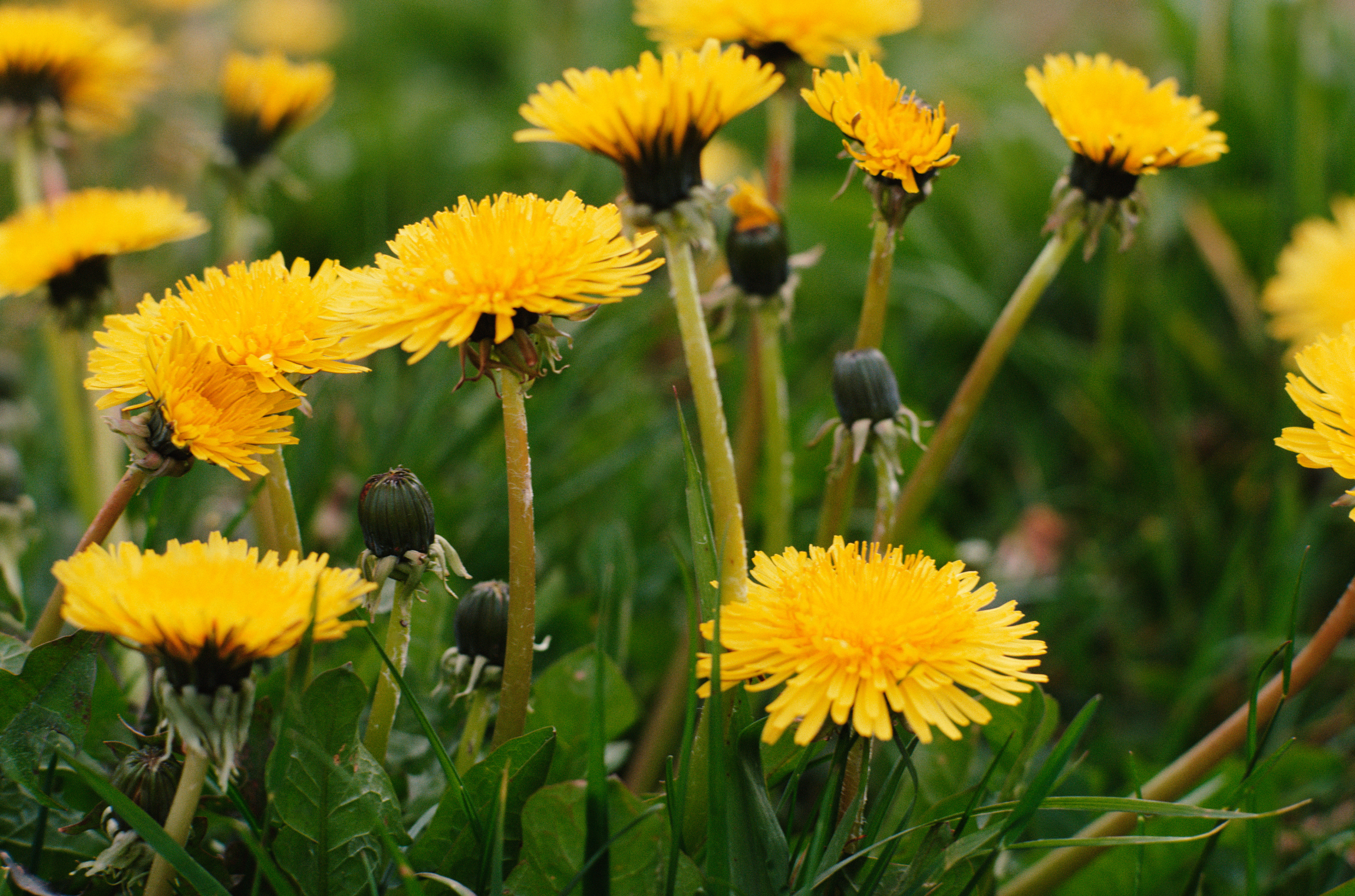Natural Way To Rid Lawn Of Weeds And Dandilions