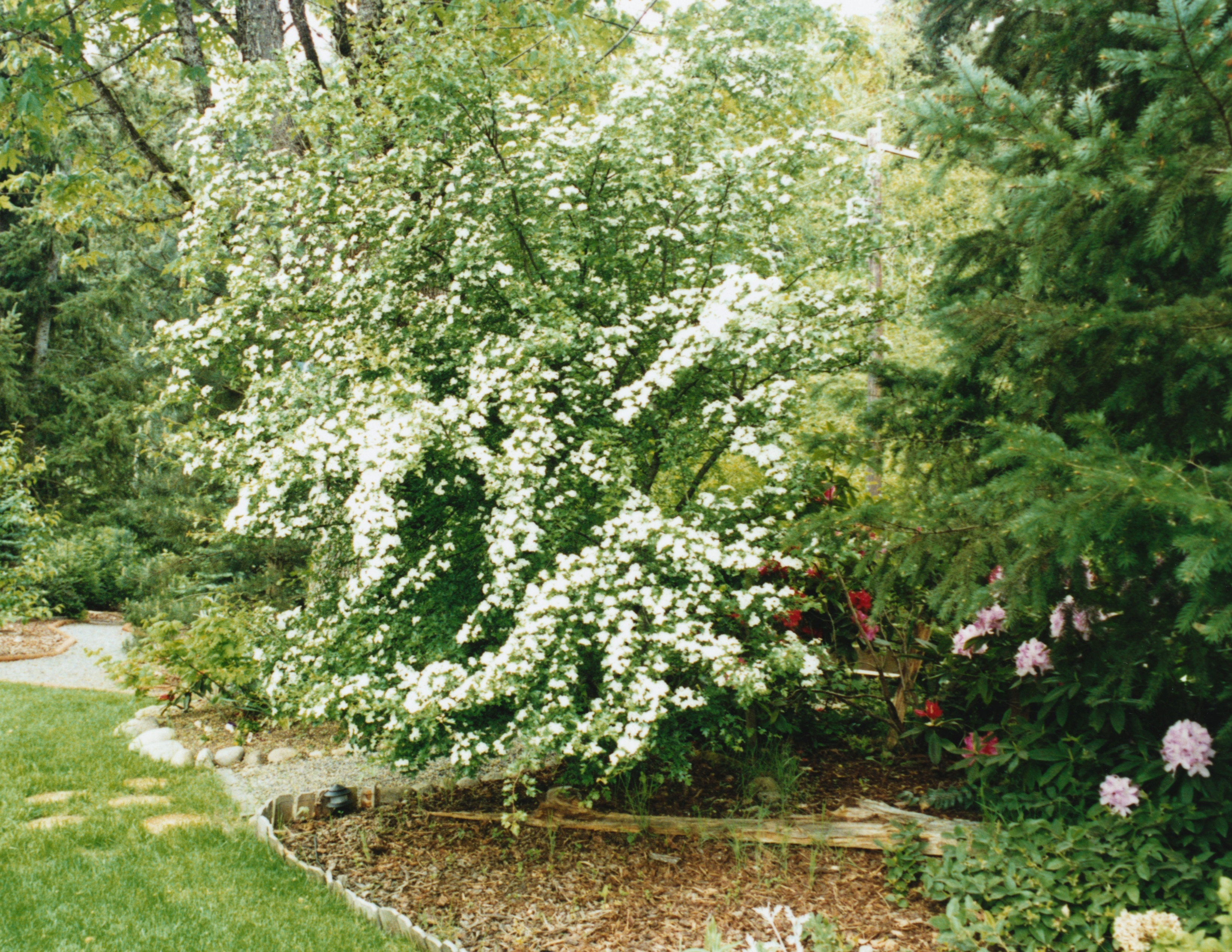 Muito Como cuidar de plantas véu-de-noiva | TS64