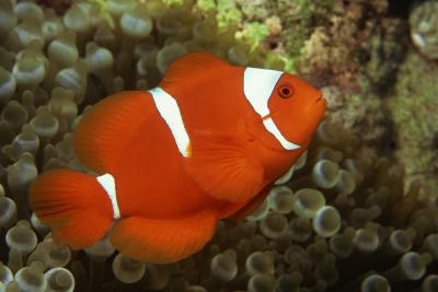Clownfish are recommended for beginning fish keepers.