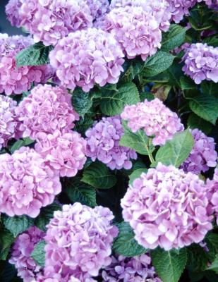 Is hydrangea poisonous to dogs dog care the daily puppy - Care potted hydrangea ...