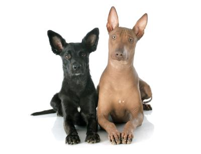 What Is The Difference Between A Chinese Crested Dog Amp A