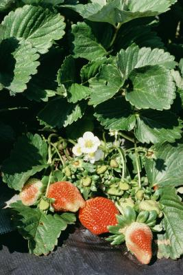 How To Plant Strawberries With Black Plastic Home Guides