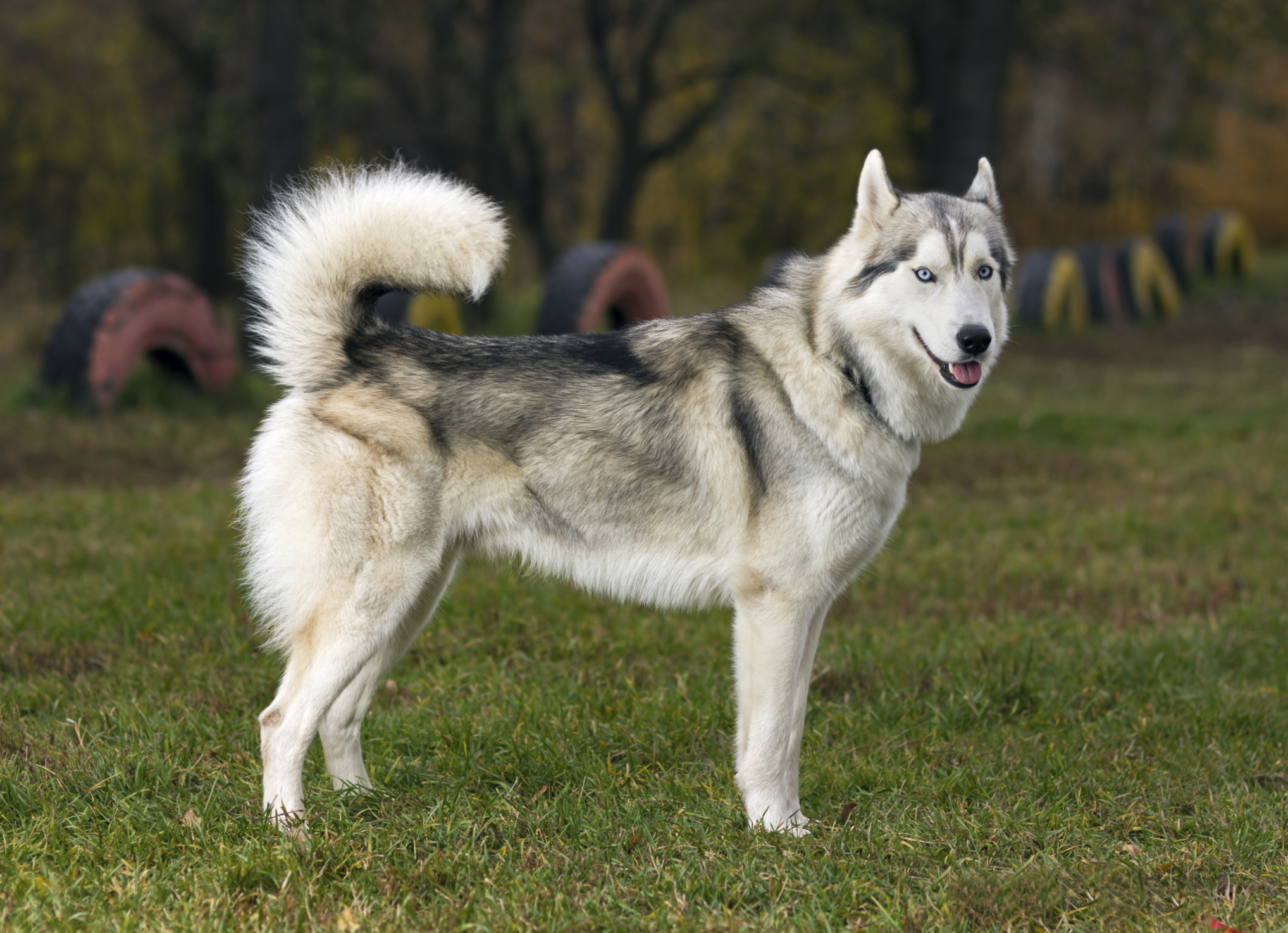 How to Tell if a Siberian Husky Is Part Wolf | Cuteness
