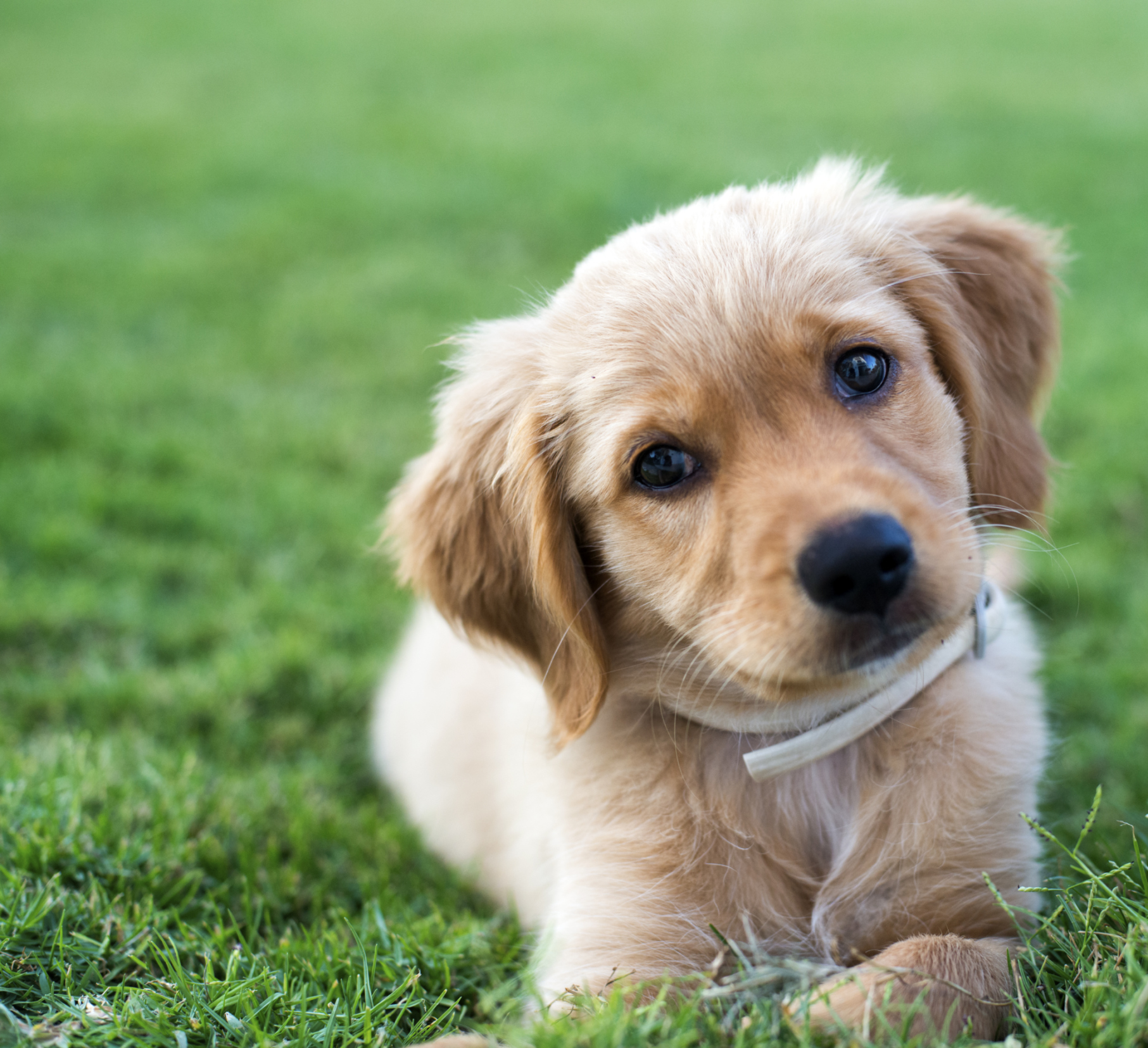 What Is the Development of a Golden Retriever Puppy ...