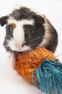 Homemade toys for a guinea pig animals for Homemade guinea pig