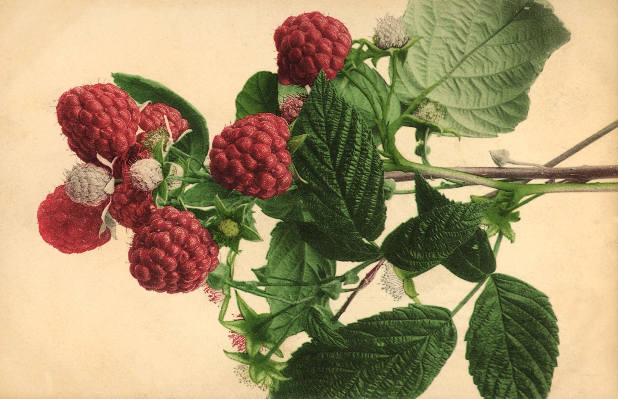 Raspberries grow both on bushes and vines called canes.
