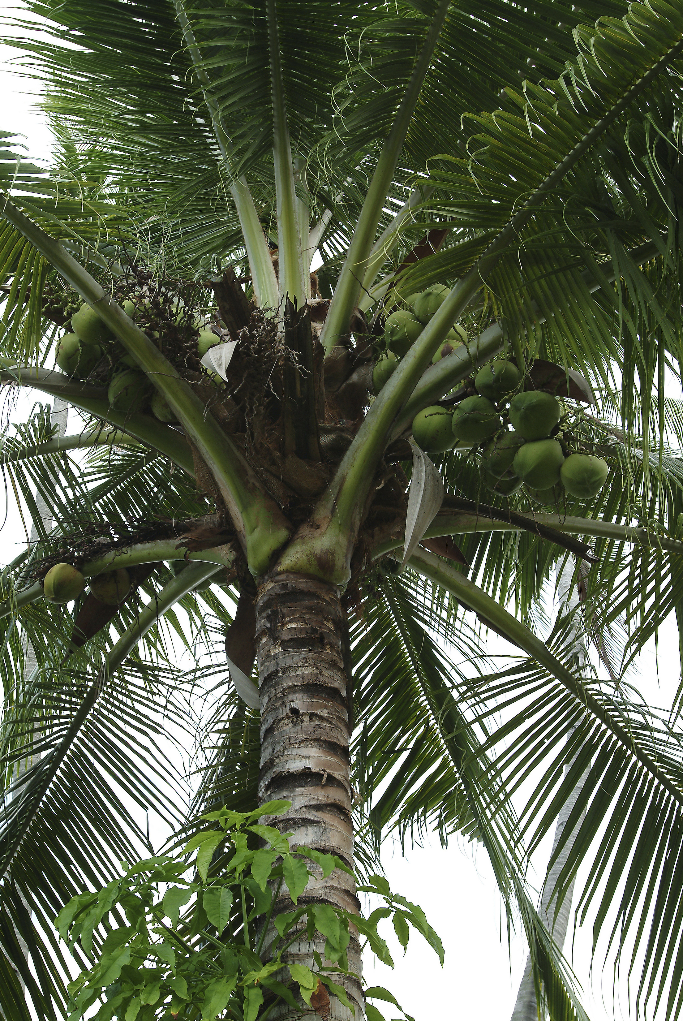 How Long Does It Take for a Coconut Tree to Get Coconuts ...