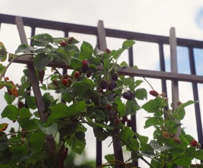 How much sun does a blackberry plant need home guides sf gate for How much sun does a garden need
