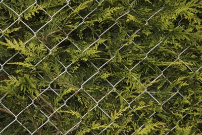 What Is A Good Evergreen Tree Or Tall Shrub For A Privacy