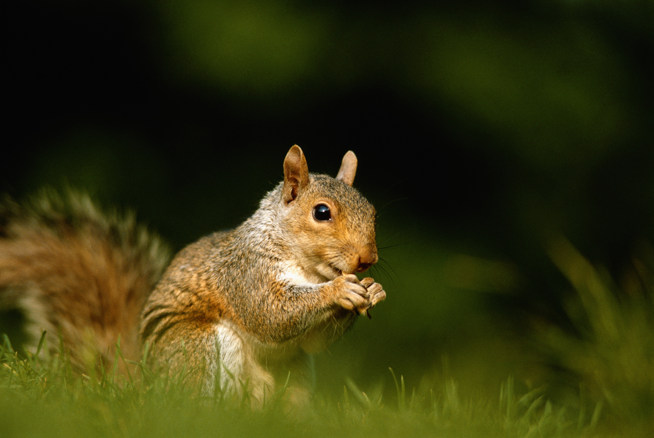 vegetable discourage squirrels to deter squirrel what gray garden from repel in how eastern
