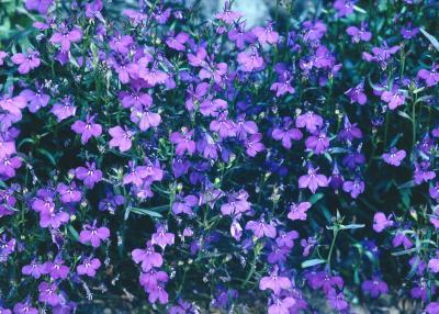 How to grow trailing lobelia home guides sf gate for Plante ombre exterieur