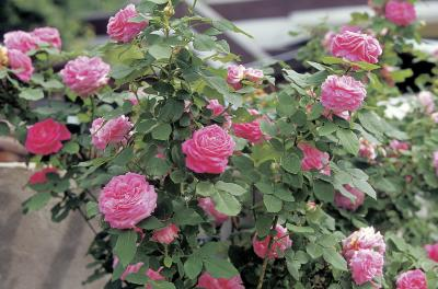 how to store rose bushes in a container in the winter home guides sf gate - Mini Roses Care Indoor