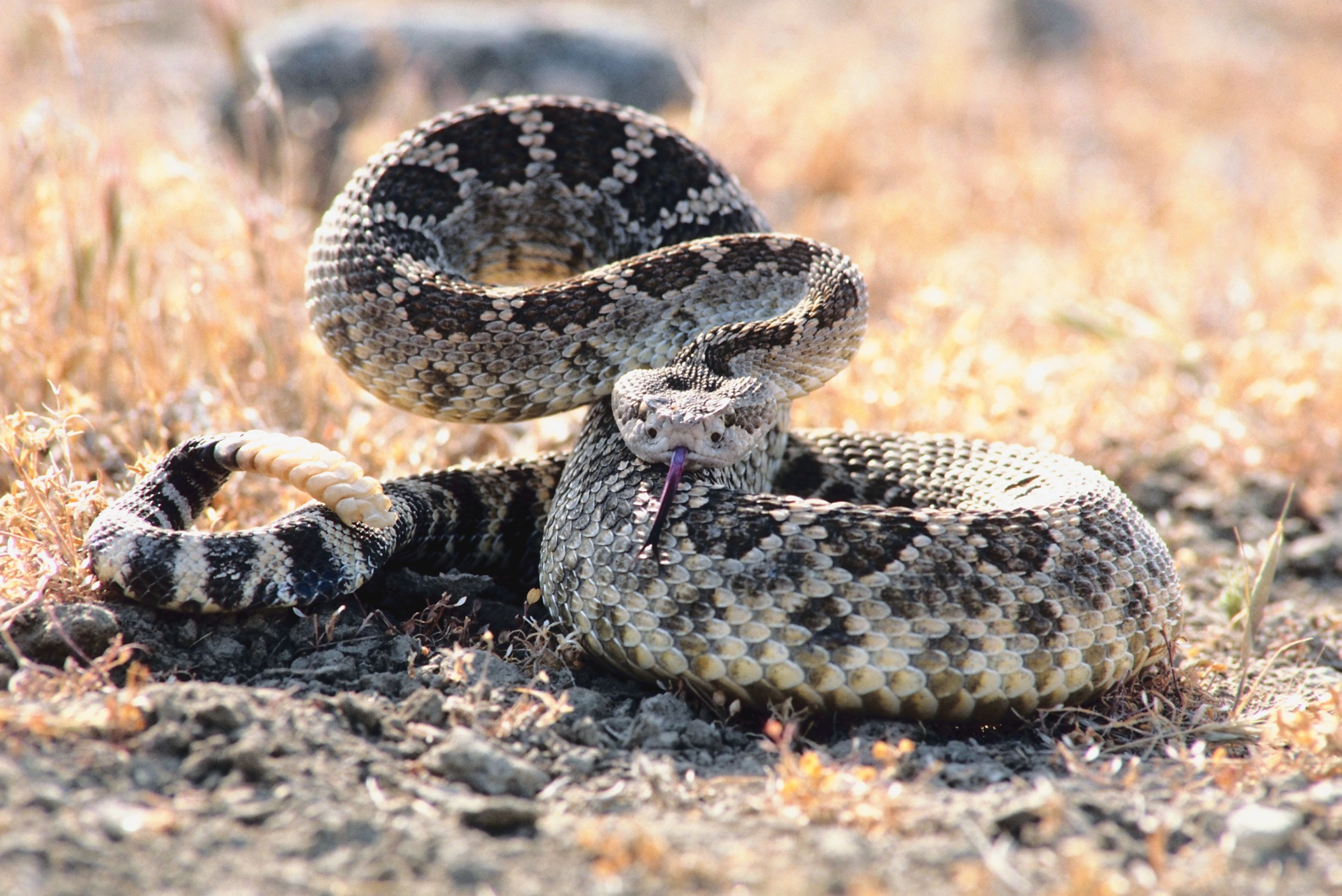 The Difference Between a Black Snake & a Racer