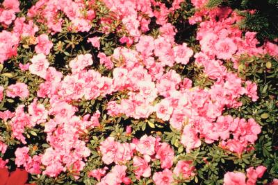 How to trim azaleas in the fall home guides sf gate - Care azaleas keep years ...