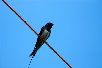 Varieties Of Swallows | Animals - mom.me