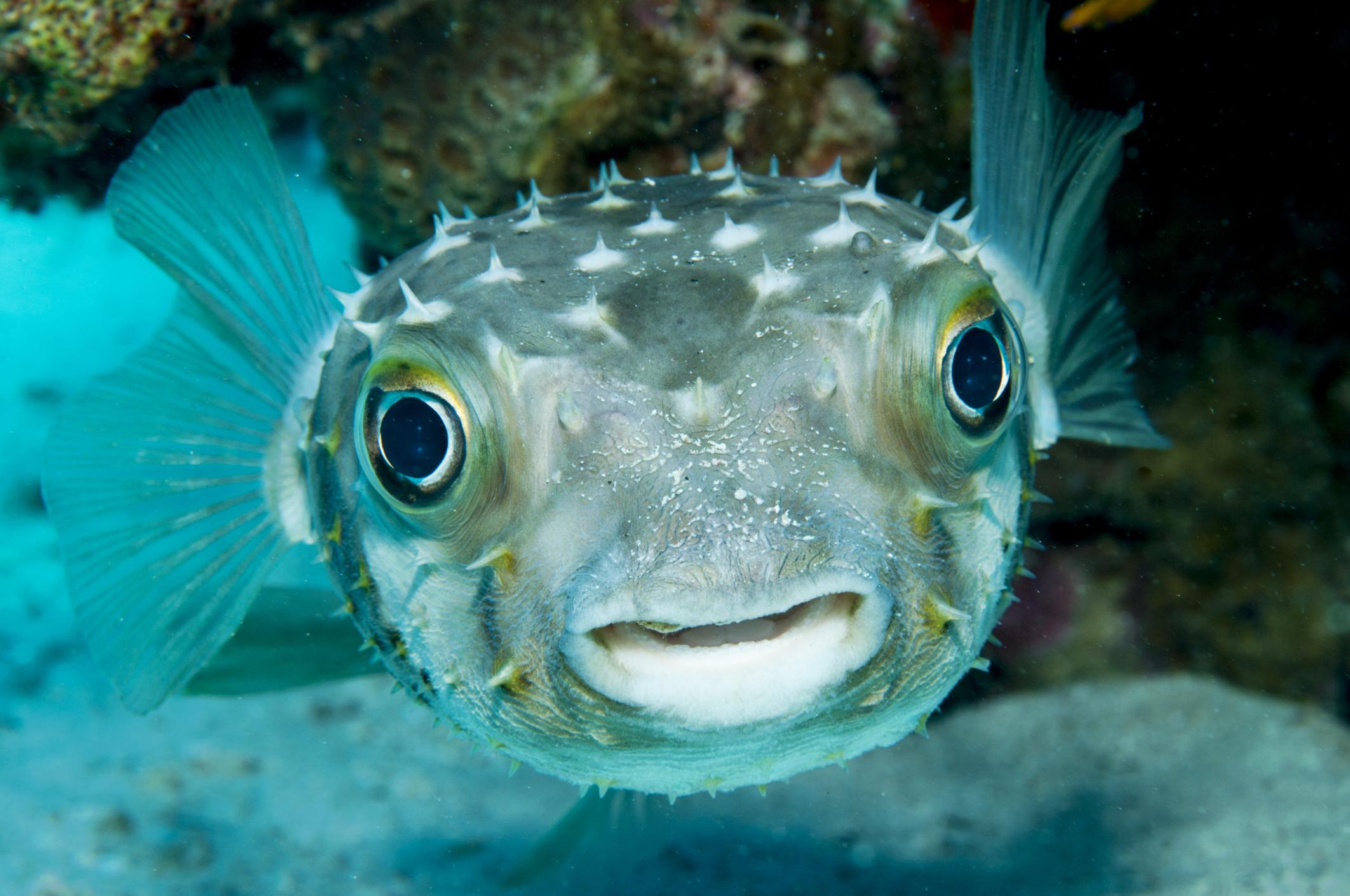 Datos sobre el pez globo  