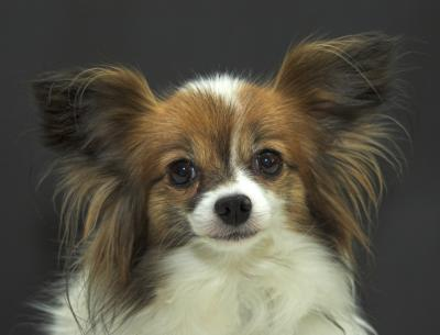 Papillon Vs Toy Poodle Dog Care Daily Puppy