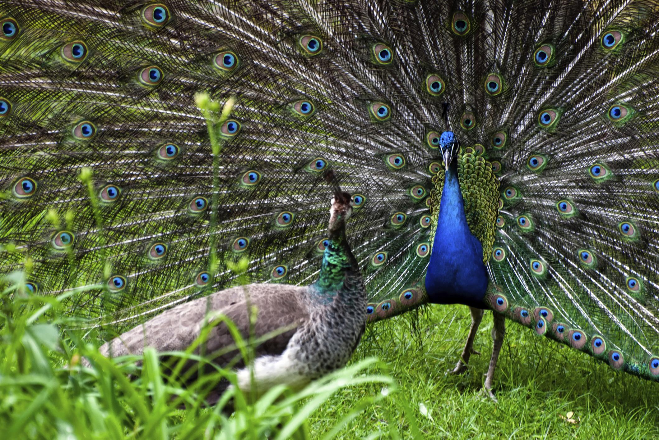 Types Of Peacocks