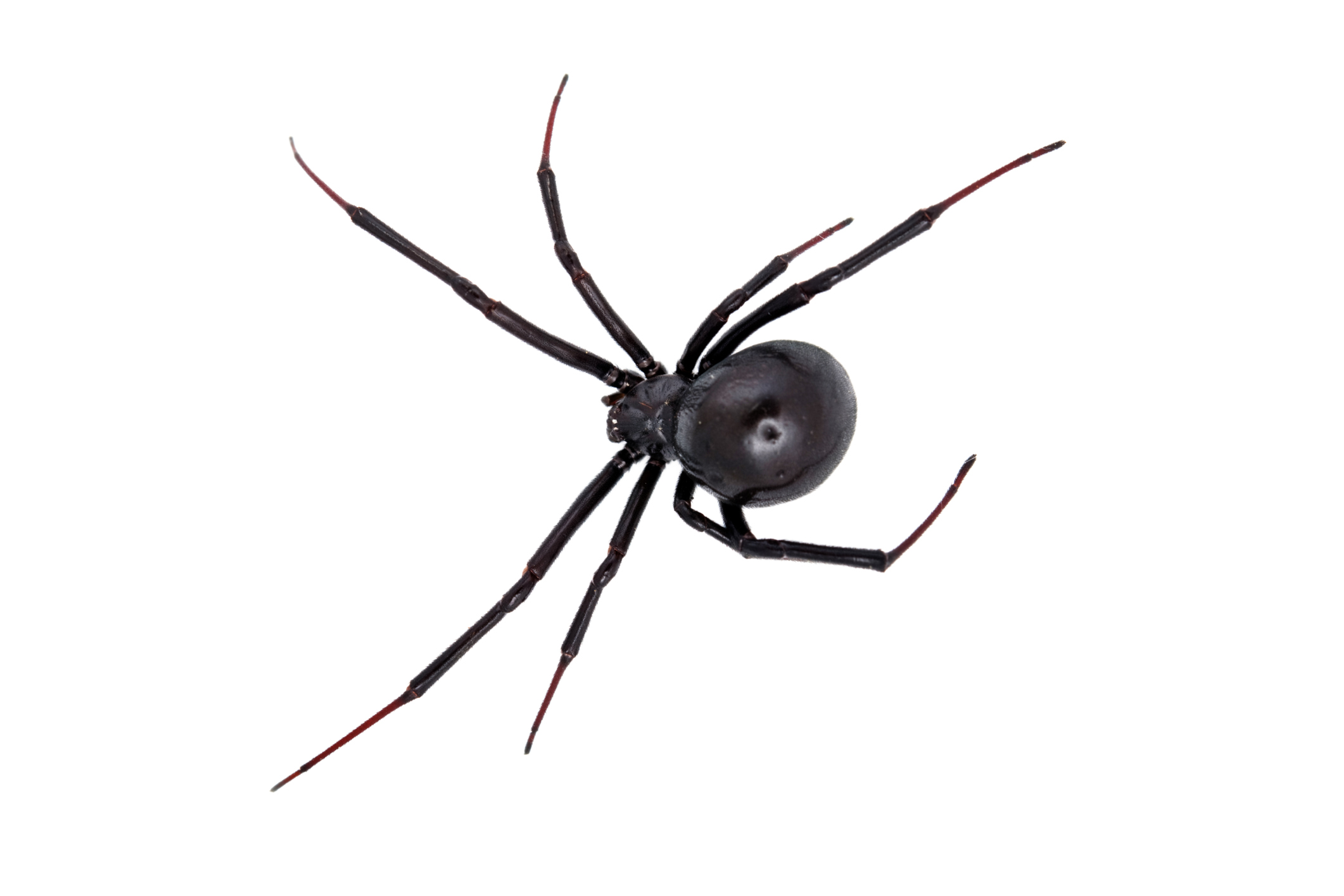Types Of Spiders Black With White Dots