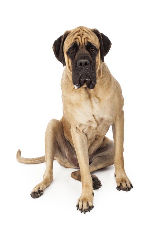 Characteristics Of English Mastiffs Dog Care Daily Puppy