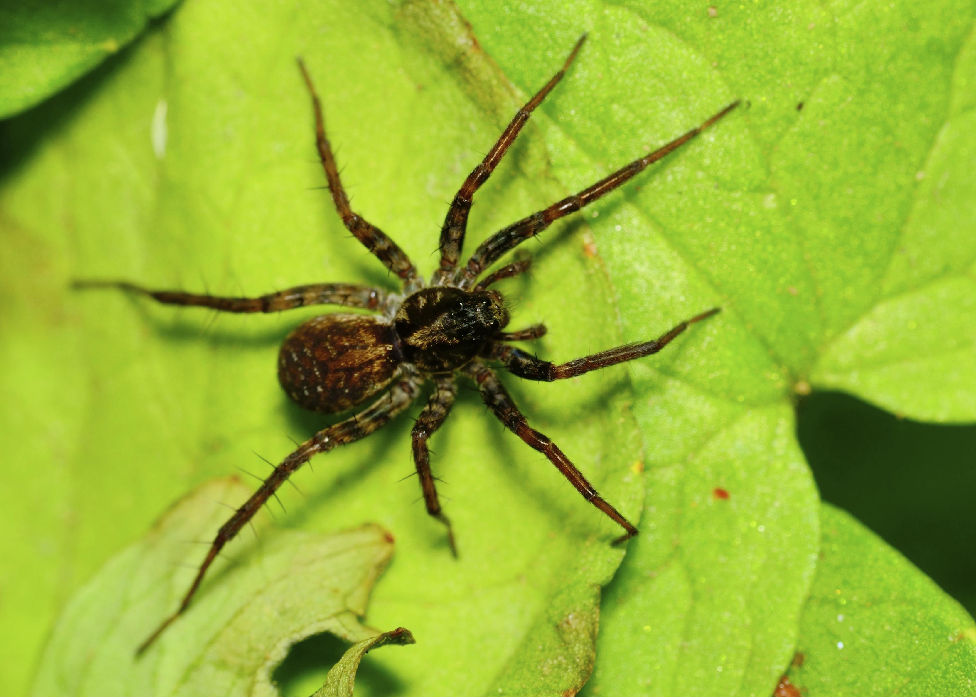 Poisonous Spiders Native To Illinois