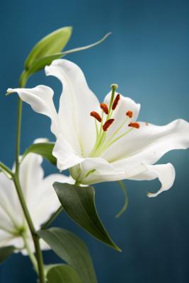 How to grow lilies indoors home guides sf gate - Signification de la fleur de lys ...