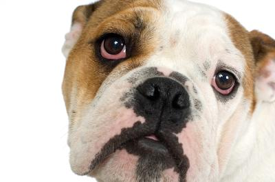 how to care for an english bulldog s eyes   pets