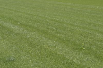 How To Repair Dead Grass Sod Home Guides Sf Gate