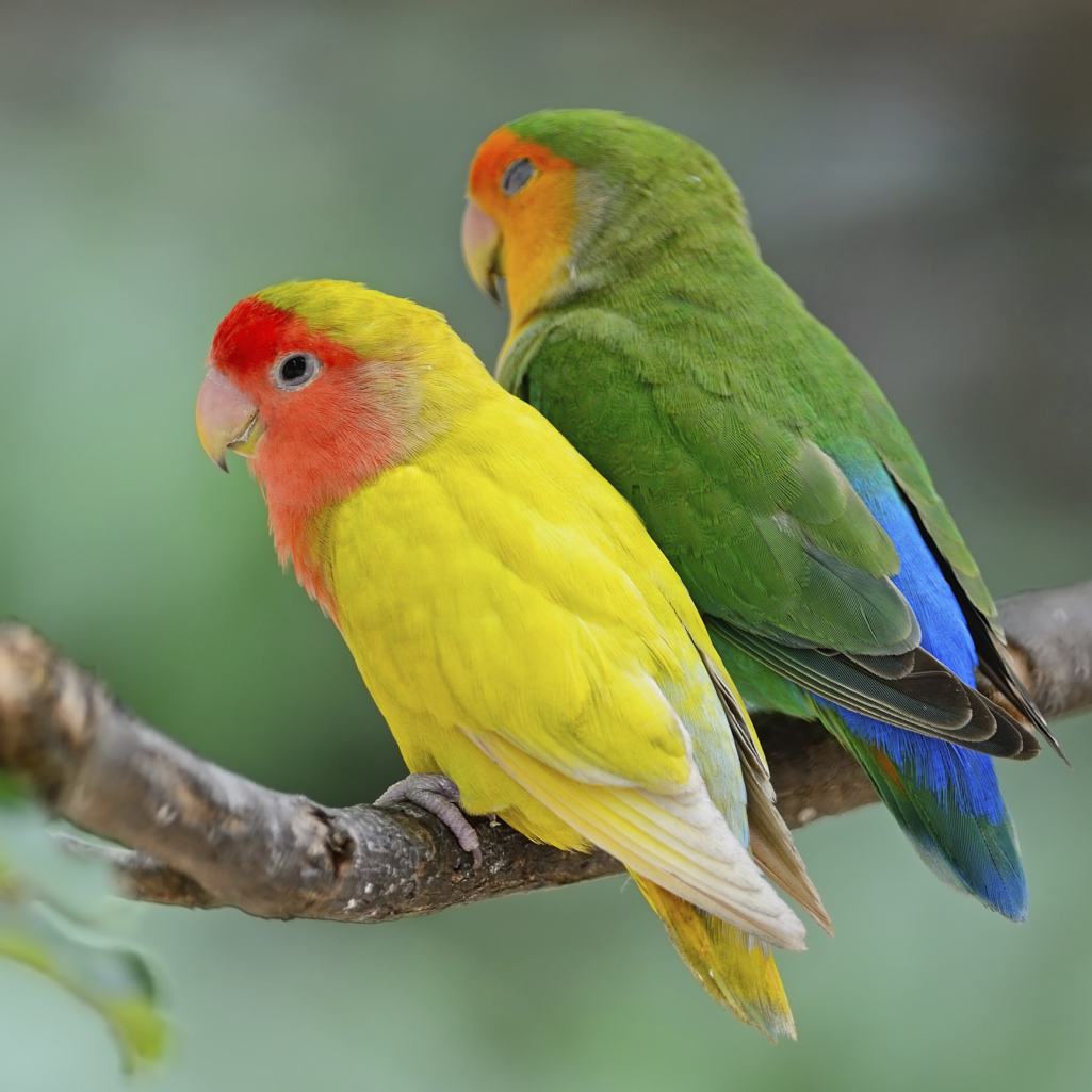 The Difference Between Male & Female Lovebirds | Cuteness
