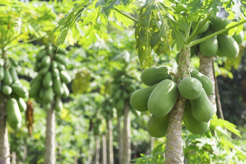 Mango Leaf Tea Papaya Leaf Tea Benefits