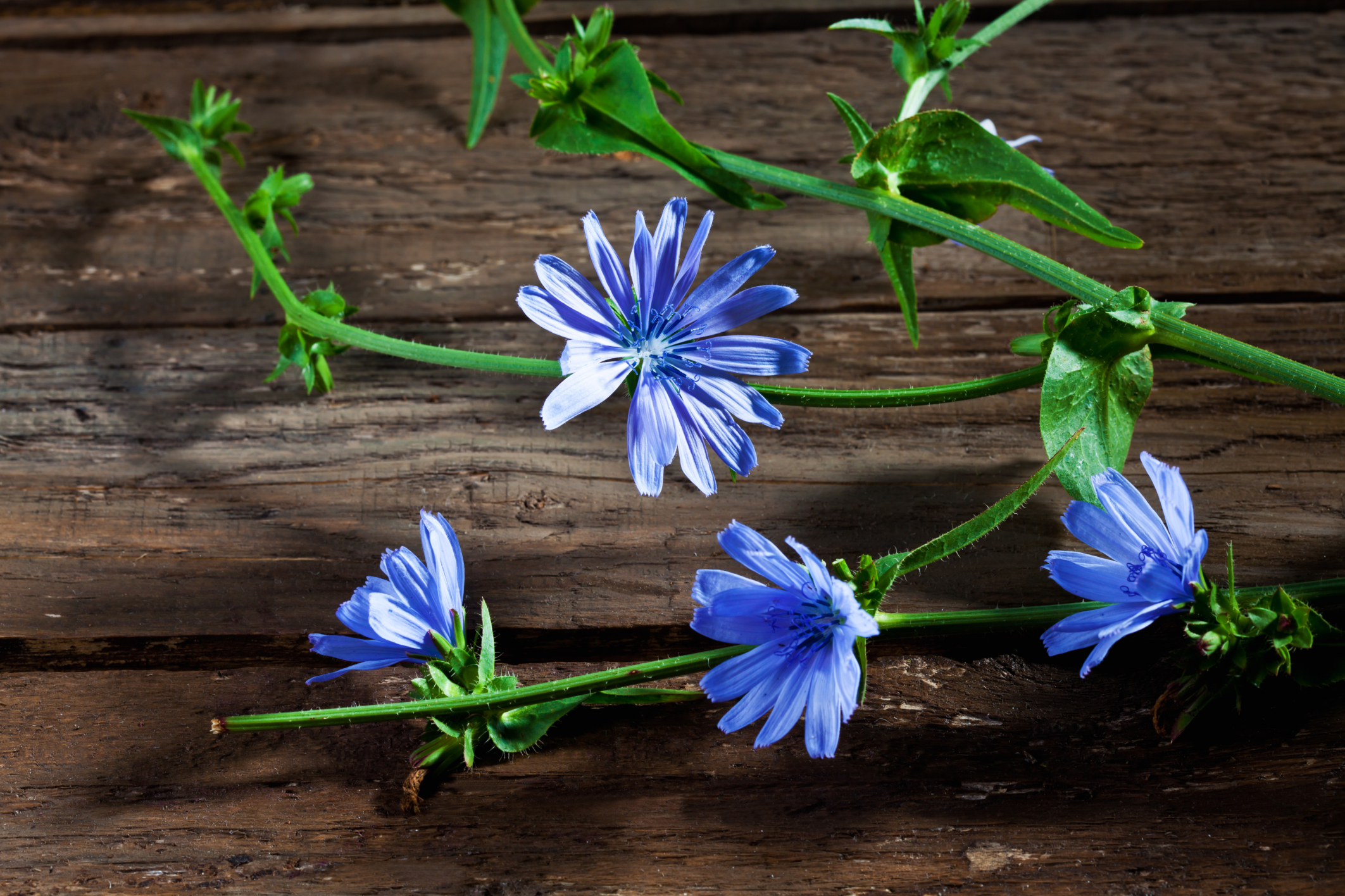 Can chicory be pregnant 76