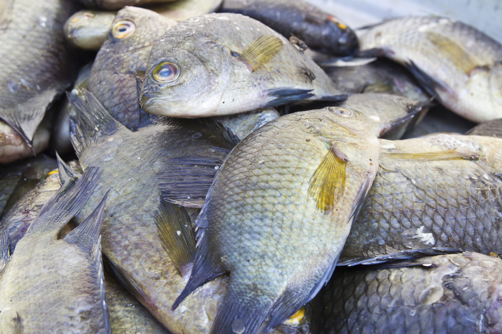 Difference between male female tilapia sciencing for What type of fish is tilapia
