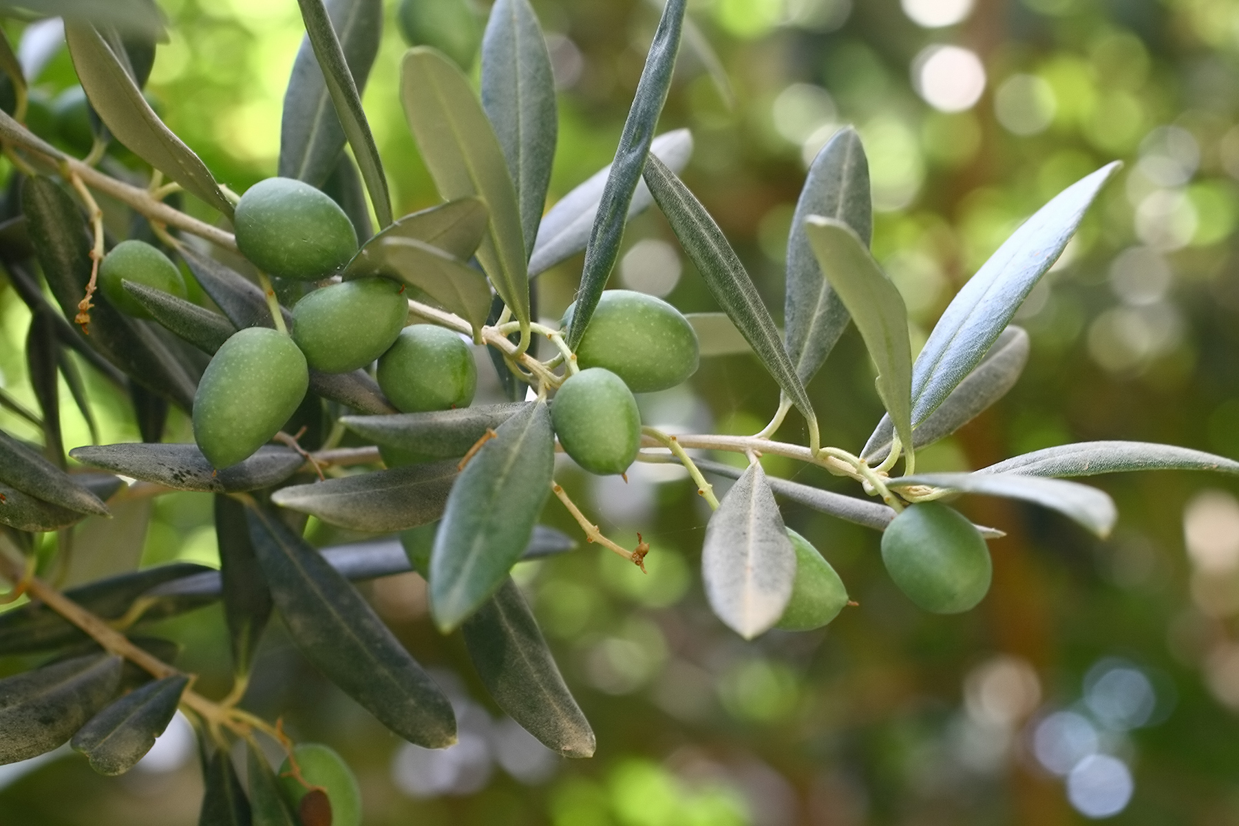 Does Olive Leaf Extract Kill Cancer Cells?