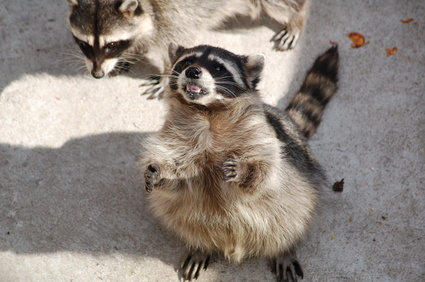 How to Build a House for a Raccoon | Animals - mom.me Raccoon Home Plans on fish homes, weasel homes, lyon homes, otter homes, skunk homes, spider homes, muskrat homes, monkey homes, cats homes, fire ant homes, bunny homes, chimp homes, gorilla homes, hedgehog homes, lizard homes, hummingbird homes, mouse homes, fisher homes, coyote homes,