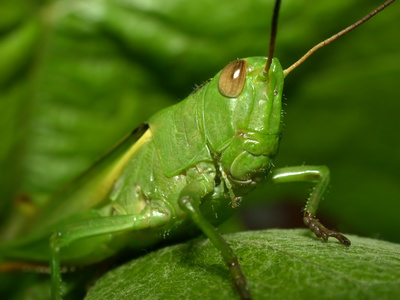 Structure of Grasshoppers | Sciencing