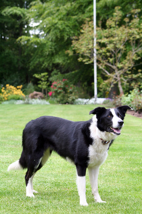 What Is A Smooth Coated Border Collie