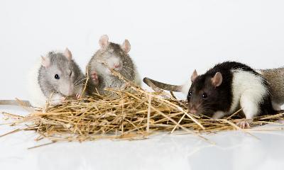 Types Of Exotic Pet Rats Animals Mom Com
