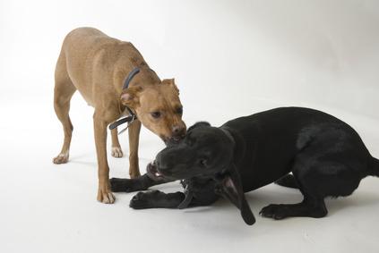Cómo Entrenar A Un Cachorro Mezclado Entre Pit Bull Y Labrador