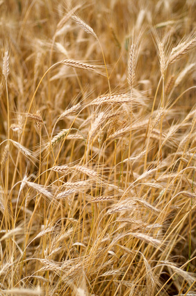 Differences Between Whole Grain Wheat and Wheat Bran | LEAFtv