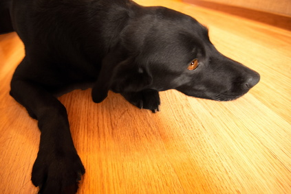 How To Clean Dog Pee Off Of Hardwood Floors Pets